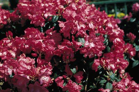 Rhododendron 'Lissabon' - Rhododendron williamsianum 'Lissabon'