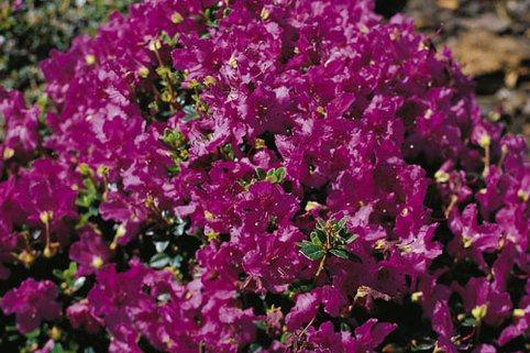 Rhododendron keleticum - Rhododendron keleticum