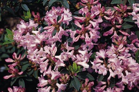 Rhododendron minus - Rhododendron minus