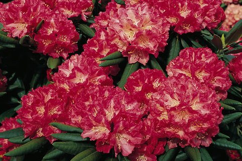 Rhododendron 'Barmstedt' - Rhododendron yakushimanum 'Barmstedt'