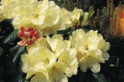Rhododendron 'Ehrengold' - Rhododendron Hybride 'Ehrengold'