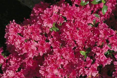 Japanische Azalee 'Noriko' - Rhododendron obtusum 'Noriko'