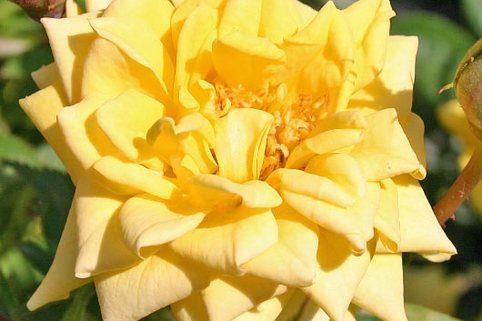 Zwergrose 'Sonnenkind'  ® - Zwergrose auf 40er Stamm veredelt