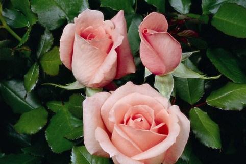 Edelrose 'Schöne Berlinerin' ® - Rosa 'Schöne Berlinerin' ®