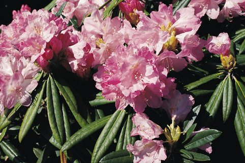 Rhododendron 'Silber' - Rhododendron makinoi 'Silber'