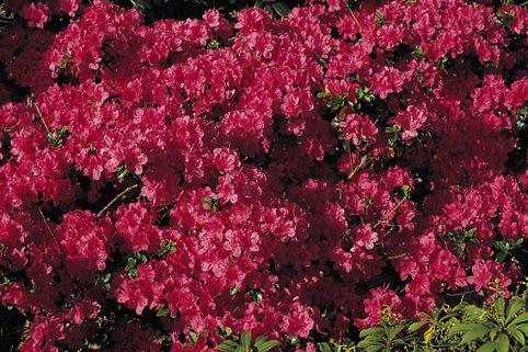Japanische Azalee 'Rubinetta' - Rhododendron obtusum 'Rubinetta'