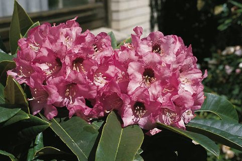 Rhododendron 'Dominik' - Rhododendron calophytum 'Dominik'