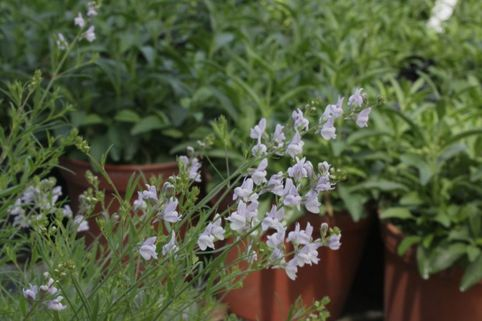 Leinkraut 'Antique Silver' - Linaria anticaria 'Antique Silver'