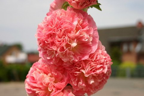Gefüllte Stockrose dunkelrosa - Alcea rosea 'Pleniflora' dunkelrosa
