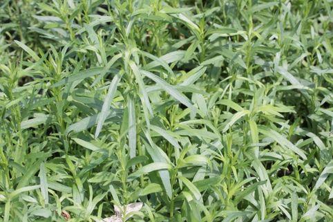 Estragon - Artemisia dracunculus