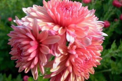 Winteraster 'Rosa gefüllt' - Chrysanthemum x hortorum 'Rosa gefüllt'
