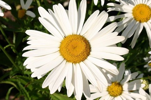 Sommer Margerite - Leucanthemum maximum