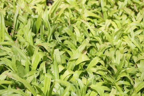 Immergrüne Breitblatt Segge - Carex plantaginea
