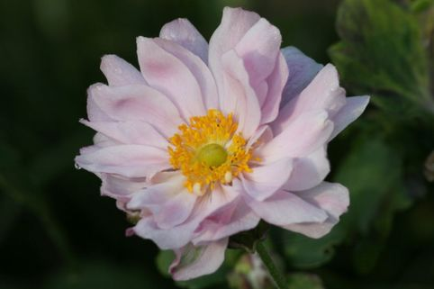 Japan-Herbst-Anemone 'Mont Rose' - Anemone japonica 'Mont Rose'