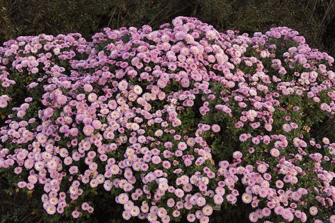 Winteraster 'Mei-kyo' - Chrysanthemum x hortorum 'Mei-kyo'