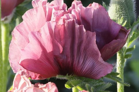 Orientalischer Mohn 'Patty's Plum' - Papaver orientale 'Patty's Plum'