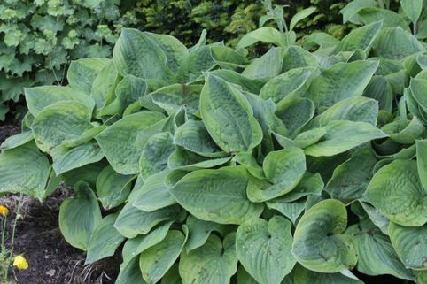 Gelbrandige Funkie 'Abiqua Moonbeam' - Hosta sieboldiana 'Abiqua Moonbeam'