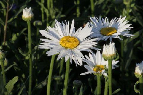 Großblumige Margerite 'Brightside' - Leucanthemum x superbum 'Brightside'
