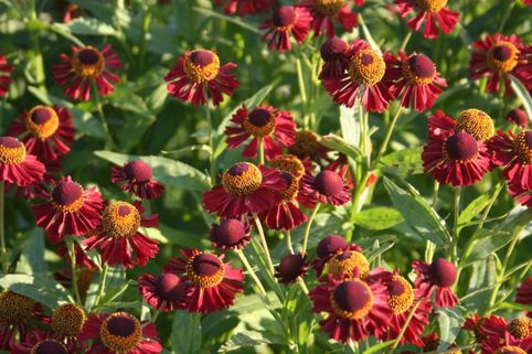 Sonnenbraut 'Ruby Tuesday' ® - Helenium x cultorum 'Ruby Tuesday' ®