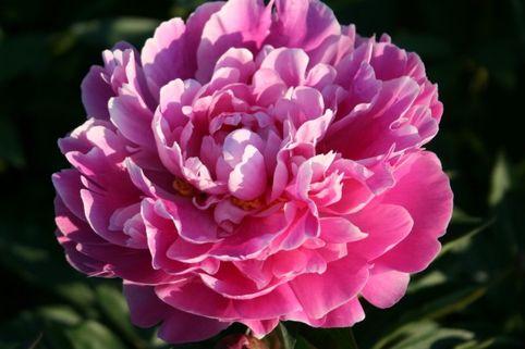 Pfingstrose 'Gilbert Barthelot' - Paeonia lactiflora 'Gilbert Barthelot'