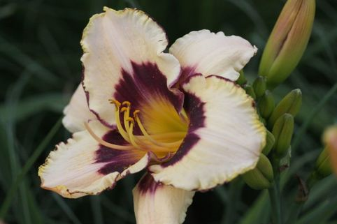Taglilie 'Canadian Border Patrol' - Hemerocallis x cultorum 'Canadian Border Patrol'