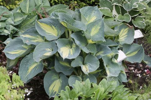 Funkie 'Dream Weaver' - Hosta x cultorum 'Dream Weaver'
