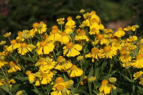 Sonnenbraut 'Herbstgold' - Helenium x cultorum 'Herbstgold'