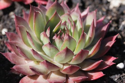 Hauswurz 'Blood Tip' - Sempervivum x cultorum 'Blood Tip'