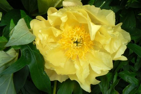 Halbstrauchige Pfingstrose 'Lemon Dream' - Paeonia Itoh-Hybride 'Lemon Dream'