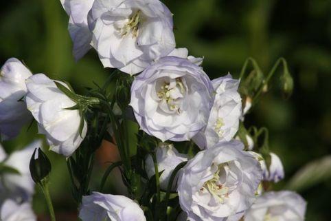 Pfirsichblättrige Glockenblume 'Moerheimii' - Campanula persicifolia 'Moerheimii'
