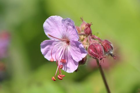 Balkan-Storchschnabel 'Ingwersen' - Geranium macrorrhizum 'Ingwersen'