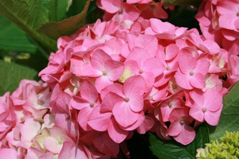 Ballhortensie Royalty® Collection 'Early Blue Rose' - Hydrangea macrophylla Royalty® Collection 'Early Blue Rose'