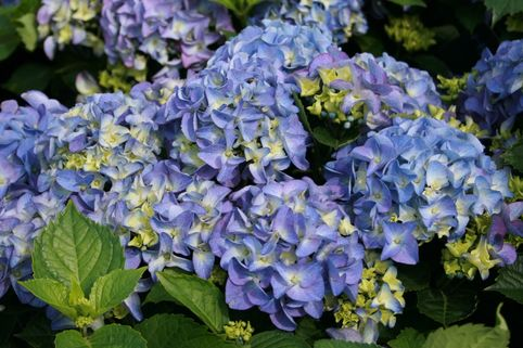 Ballhortensie / Bauernhortensie 'Early Blue' (S) - Hydrangea macrophylla 'Early Blue' (S)