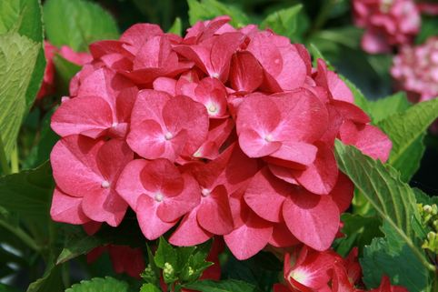 Ballhortensie Royalty® Collection 'Hot Red ®' - Hydrangea macrophylla Royalty® Collection 'Hot Red ®'