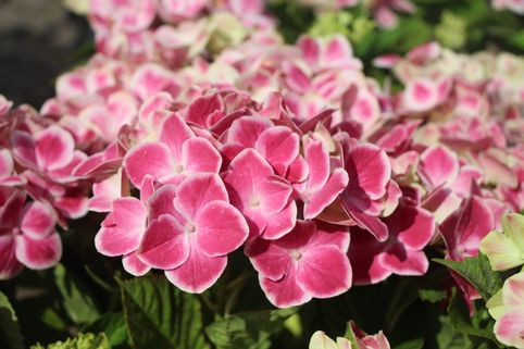 Ballhortensie 'Red Ace' ® - Hydrangea macrophylla 'Red Ace' ®