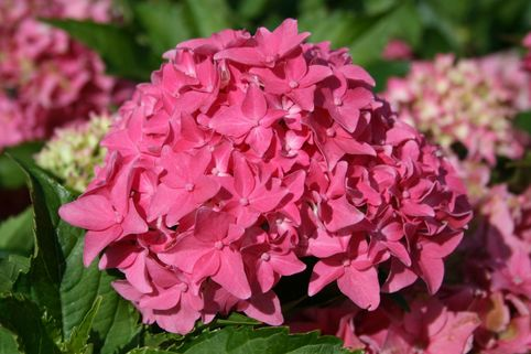 Ballhortensie 'Tovelit' - Hydrangea macrophylla 'Tovelit'