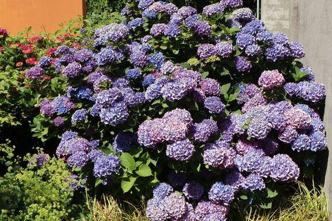 Ballhortensie (Blau) - Hydrangea macrophylla (Blau)