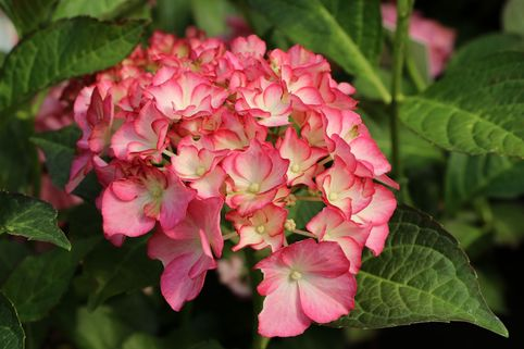 Ballhortensie Charming by Magical ® 'Alice' (Weiß-Rosa) - Hydrangea macrophylla Charming by Magical ® 'Alice' (Weiß-Rosa)