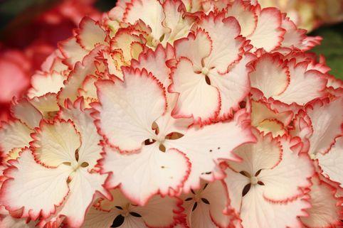 Ballhortensie Charming by Magical ® 'Lisa' (Weiß-Rot) - Hydrangea macrophylla Charming by Magical ® 'Lisa' (Weiß-Rot)