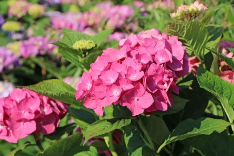 Ballhortensie 'Diva fiore' ® (Rosa) - Hydrangea macrophylla 'Diva fiore' ® (Rosa)