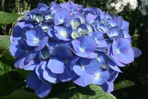 Ballhortensie Everbloom ® 'Blue Heaven' ® - Hydrangea macrophylla Everbloom ® 'Blue Heaven' ®