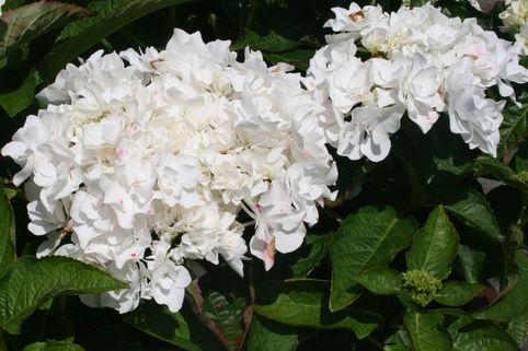 Ballhortensie Everbloom ® 'Coco' ® - Hydrangea macrophylla Everbloom ® 'Coco' ®