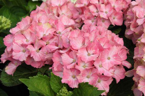 Ballhortensie Forever & Ever 'Fantasia' ® - Hydrangea macrophylla Forever & Ever 'Fantasia' ®