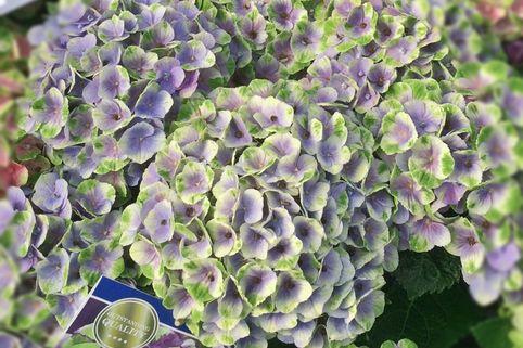 Ballhortensie Magical ® Four Seasons 'Amethyst ®' Blau - Hydrangea macrophylla Magical ® Four Seasons 'Amethyst ®' Blau
