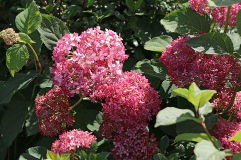 Ballhortensie 'Invincibelle Spirit' ® / 'Pink Annabelle' ® - Hydrangea arborescens 'Invincibelle Spirit' ® / 'Pink Annabelle' ®
