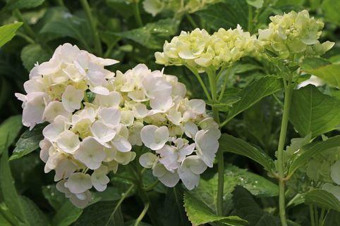 Ballhortensie 'Madame E. Moulliere' - Hydrangea macrophylla 'Madame E. Moulliere'