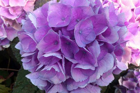 Ballhortensie Magical ® Four Seasons 'Opal ®' Blau - Hydrangea macrophylla Magical ® Four Seasons 'Opal ®' Blau