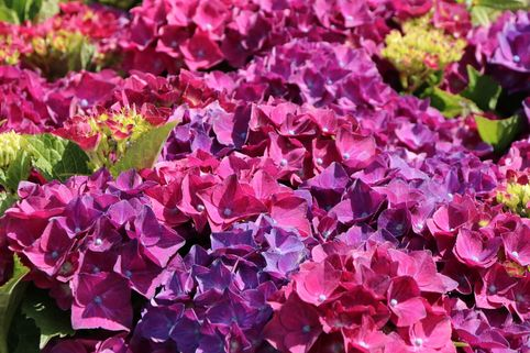 Ballhortensie Royalty® Collection 'Hot Red ® Violet' - Hydrangea macrophylla Royalty® Collection 'Hot Red ® Violet'