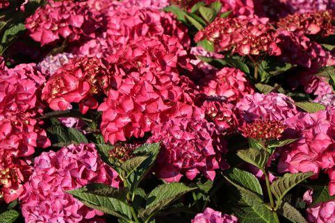 Ballhortensie Royalty® Collection 'Red Angel ®' - Hydrangea macrophylla Royalty® Collection 'Red Angel ®'