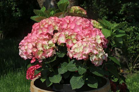 Ballhortensie Royalty® Collection 'Rosita' - Hydrangea macrophylla Royalty® Collection 'Rosita'